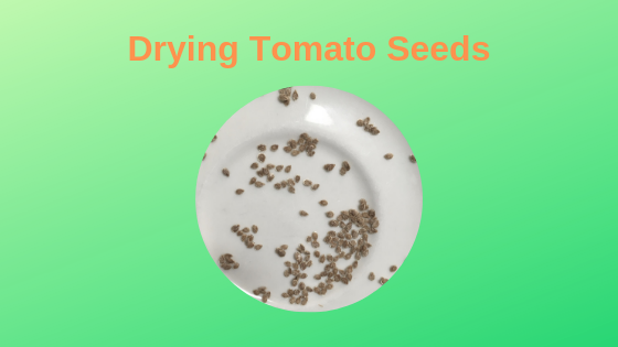 Drying tomato seeds on a ceramic plate