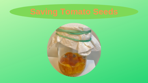 seed saving and fermenting tomatoes in a jar